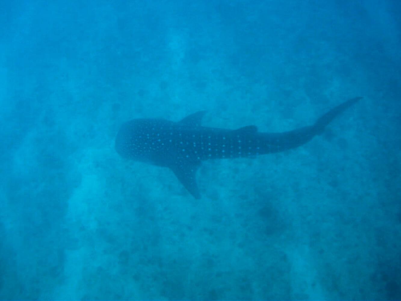 Snorkelling con squalo balena