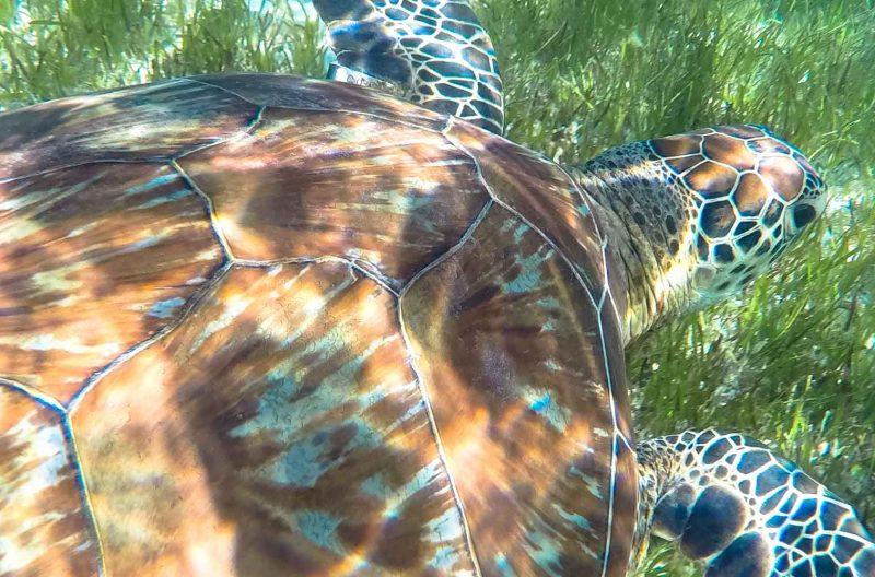 tartarughe green island