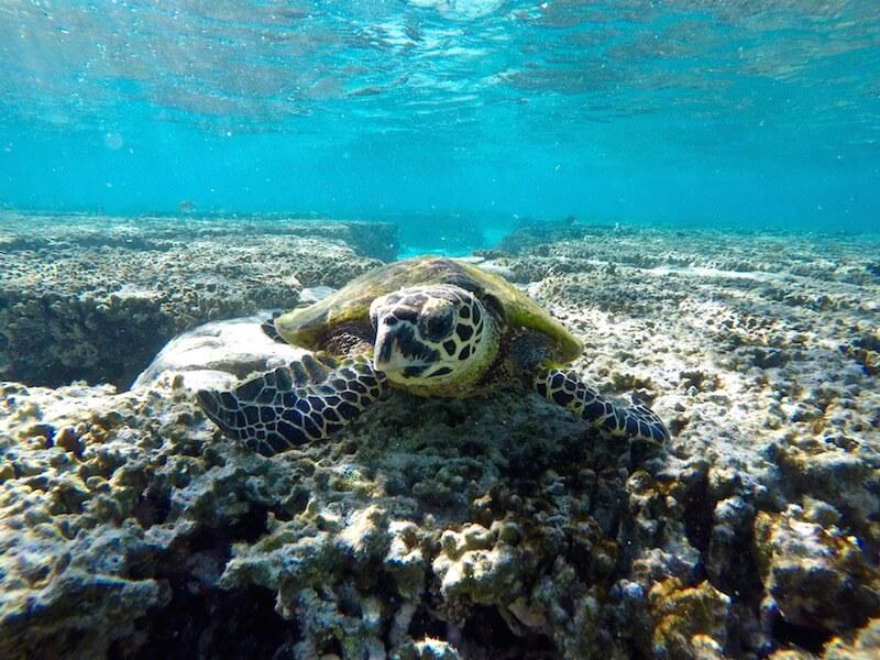 turtle-lady-elliot-island-lagoon