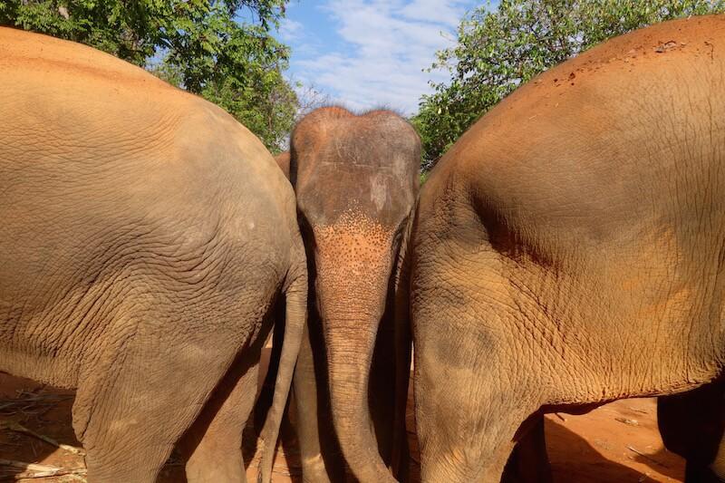 elefanti in thailandia