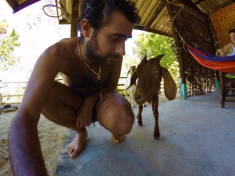 Una capra in Thailandia