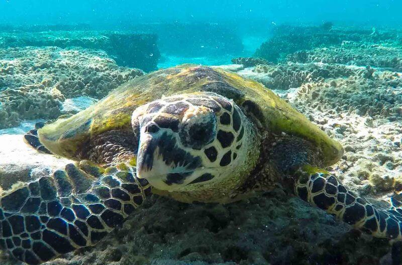 tartaruga grande barriera corallina
