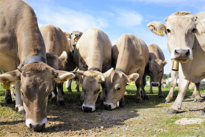 Mucche al pascolo al rifugio di Cap de Rec
