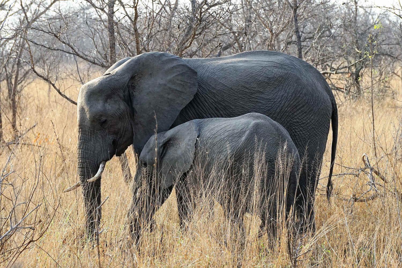 Elefanti al Kruger National Park