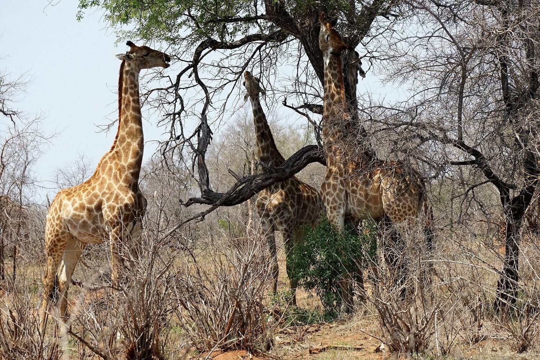 Giraffe al Kruger Park