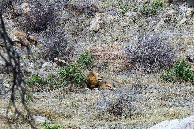 Leone al Kruger Park