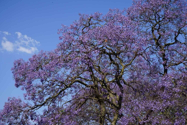 Alberi di Jacaranda - Johannesburg